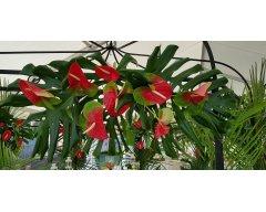 decoration exterieure fleurs d anthuriums rouge